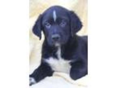 Adopt Lucky a Black - with White Border Collie / Labrador Retriever / Mixed dog