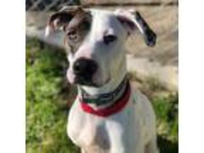 Adopt Harlen a White - with Tan, Yellow or Fawn Dalmatian / Pointer dog in