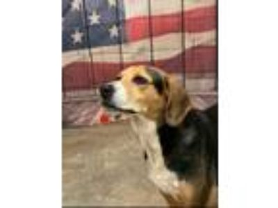 Adopt Lexie a Beagle / Mixed dog in Pittsburgh, PA (25846221)