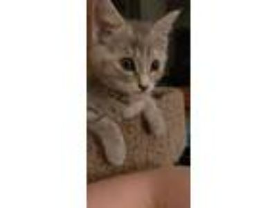 Adopt Clover (Fostered in Lincoln) a Gray or Blue Domestic Shorthair / Mixed cat
