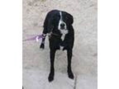 Adopt Blake a Labrador Retriever, Border Collie