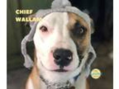 Adopt Wallam a Tricolor (Tan/Brown & Black & White) Bull Terrier / Mixed dog in