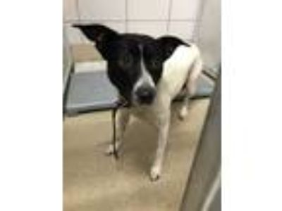 Adopt Oreo a White Australian Cattle Dog / Mixed dog in Fort Worth