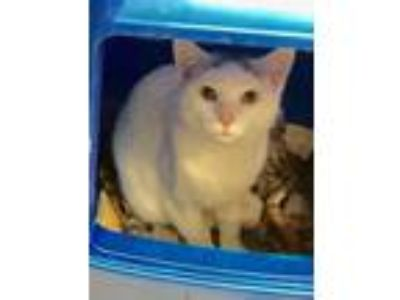 Adopt Macaroon a White (Mostly) Domestic Shorthair / Mixed (short coat) cat in