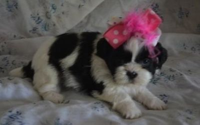 moral Shih tzu puppies available