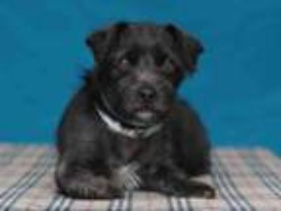 Adopt CHARO a Terrier
