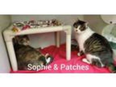 Adopt Sophie & Patches a Calico or Dilute Calico Domestic Shorthair / Mixed cat