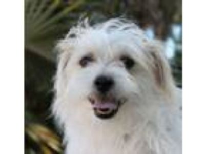 Adopt Baby Theodore a Terrier, Shih Tzu
