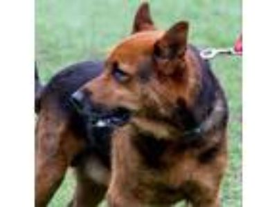 Adopt Bear a Brown/Chocolate Shepherd (Unknown Type) dog in Jacksonville
