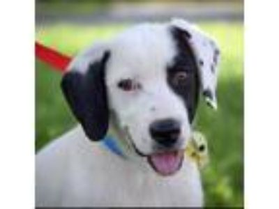 Adopt Outlaw a Pointer, Labrador Retriever