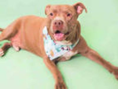 Adopt REMY a Brown/Chocolate - with White American Pit Bull Terrier / Mixed dog