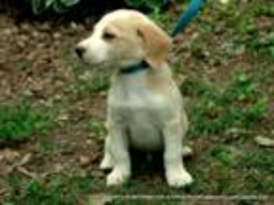 Adopt EVAN~ADOPTED a Tan/Yellow/Fawn - with White Beagle / Mixed dog in