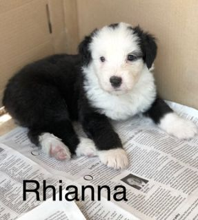 Old English Sheepdog PUPPY FOR SALE ADN-94812 - AKC Registered Sheepiy For Sale