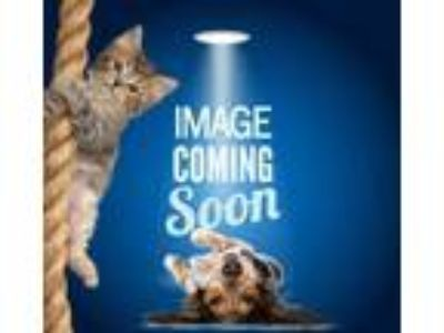 Adopt Basil a White Domestic Shorthair / Domestic Shorthair / Mixed cat in