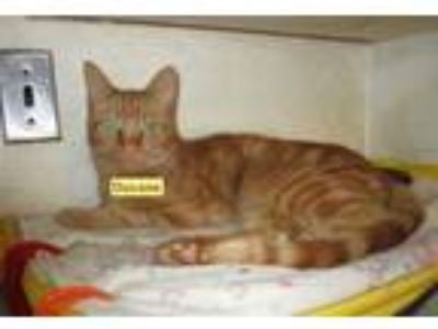 Adopt DuVane -HANDSOME a Tabby, Domestic Short Hair