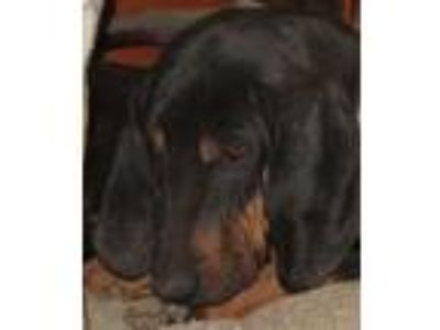 Adopt Sammie a Black - with Tan, Yellow or Fawn Black and Tan Coonhound / Mixed