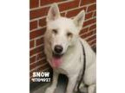 Adopt Snow a White Husky / Mixed dog in Gulfport, MS (25310252)