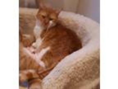 Adopt Kitty a Spotted Tabby/Leopard Spotted Domestic Shorthair / Mixed cat in