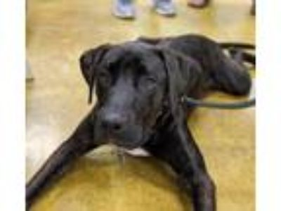 Adopt Sawyer a Labrador Retriever, Plott Hound