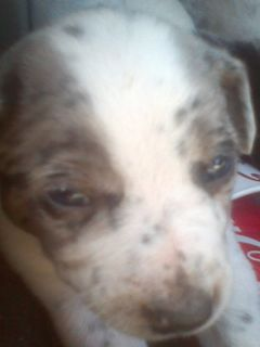 BEAUTIFUL BLUE HEELER PUPPY..FEMALE. and male