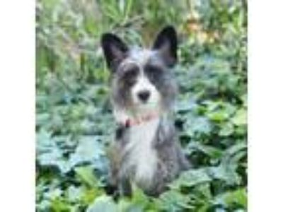 Adopt Ziggy a Scottish Terrier, Yorkshire Terrier