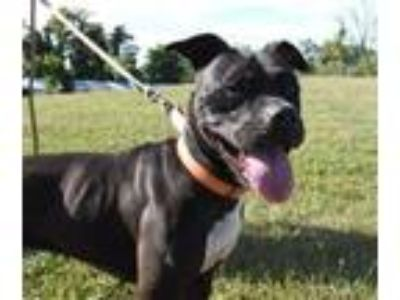 Adopt Chanel a Pit Bull Terrier