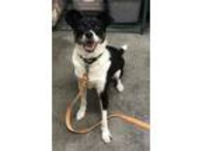Adopt Preston a White Terrier (Unknown Type, Small) / Border Collie / Mixed dog