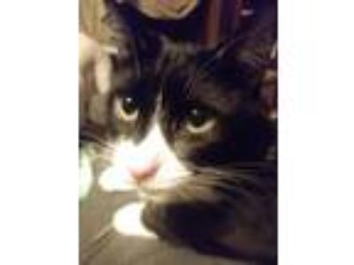 Adopt Hunter a Black & White or Tuxedo Domestic Shorthair (short coat) cat in