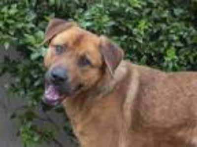 Adopt DEX a Labrador Retriever, German Shepherd Dog