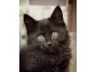 Adopt Bullwinkle - NORTH CONROE PETSMART a Maine Coon