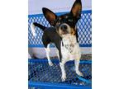 Adopt Jeremiah a Terrier (Unknown Type, Small) / Rat Terrier / Mixed dog in Fort