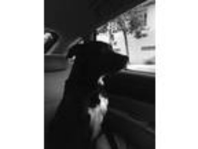 Adopt Roscoe a Black - with White American Pit Bull Terrier / Border Collie /