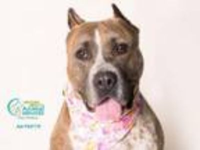 Adopt NALA a American Staffordshire Terrier
