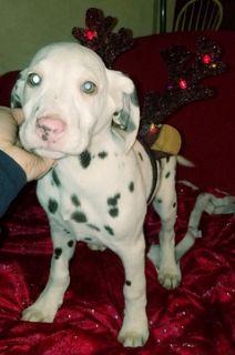 Dalmatian PUPPY FOR SALE ADN-53394 - meet rudolph
