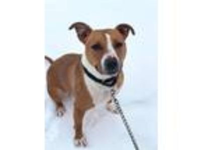 Adopt Hershel a Pit Bull Terrier