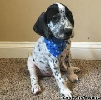 Easygoing German Shorthaired Pointer puppies