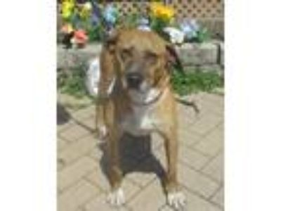 Adopt Orlanda a Tan/Yellow/Fawn - with White Mountain Cur / Mixed dog in West