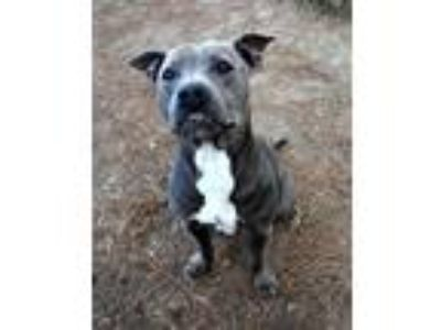 Adopt Zippo a Gray/Silver/Salt & Pepper - with White Pit Bull Terrier / Mixed