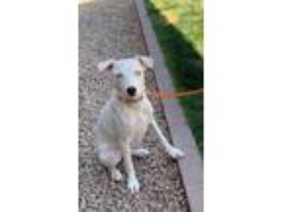 Adopt Cora a Border Collie, Jack Russell Terrier