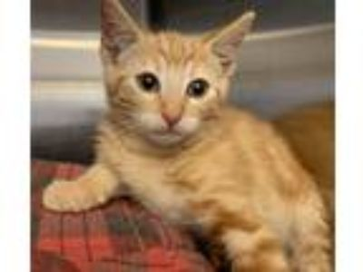 Adopt Han Solo a Orange or Red Tabby Domestic Shorthair (short coat) cat in