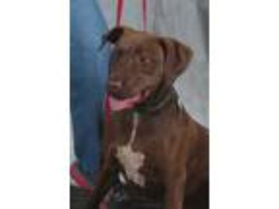 Adopt Piper a Brown/Chocolate Labrador Retriever / Mixed dog in Winchester