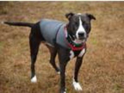 Adopt BLAZE (FVC)- Super Sweet Boy! a Pit Bull Terrier