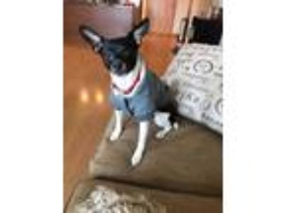 Adopt Ziggy a Brindle - with White Rat Terrier / Mixed dog in Lakeville