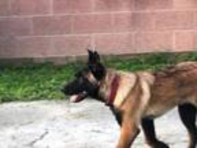 Adopt Hershey a German Shepherd Dog, Belgian Shepherd / Malinois