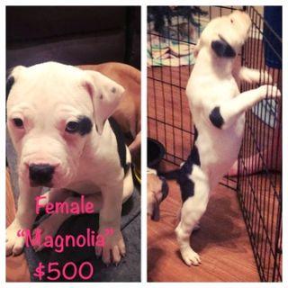 American Bulldog PUPPY FOR SALE ADN-74853 - American Bulldog Pups ready for FUREVER home