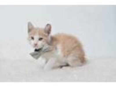 Adopt 19-1074C Digger a White Domestic Shorthair / Domestic Shorthair / Mixed