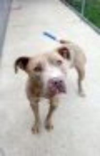 Blue Ivy Pit Bull Terrier Dog