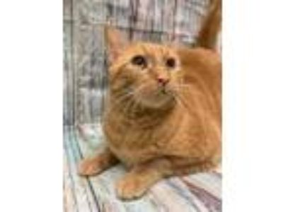 Adopt Roo a Orange or Red Domestic Shorthair / Domestic Shorthair / Mixed cat in