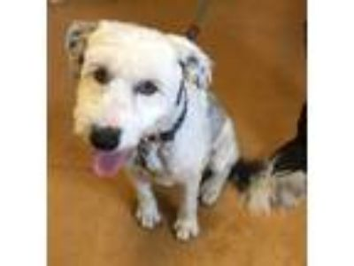 Adopt Belle a Bearded Collie