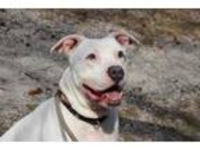 Adopt Vader a White American Pit Bull Terrier / Mixed dog in Wantagh